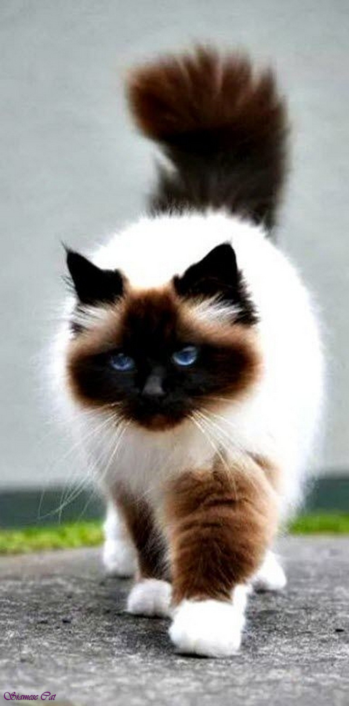Fluffy Black Kittens With Blue Eyes Image - Fluffy-siamese...