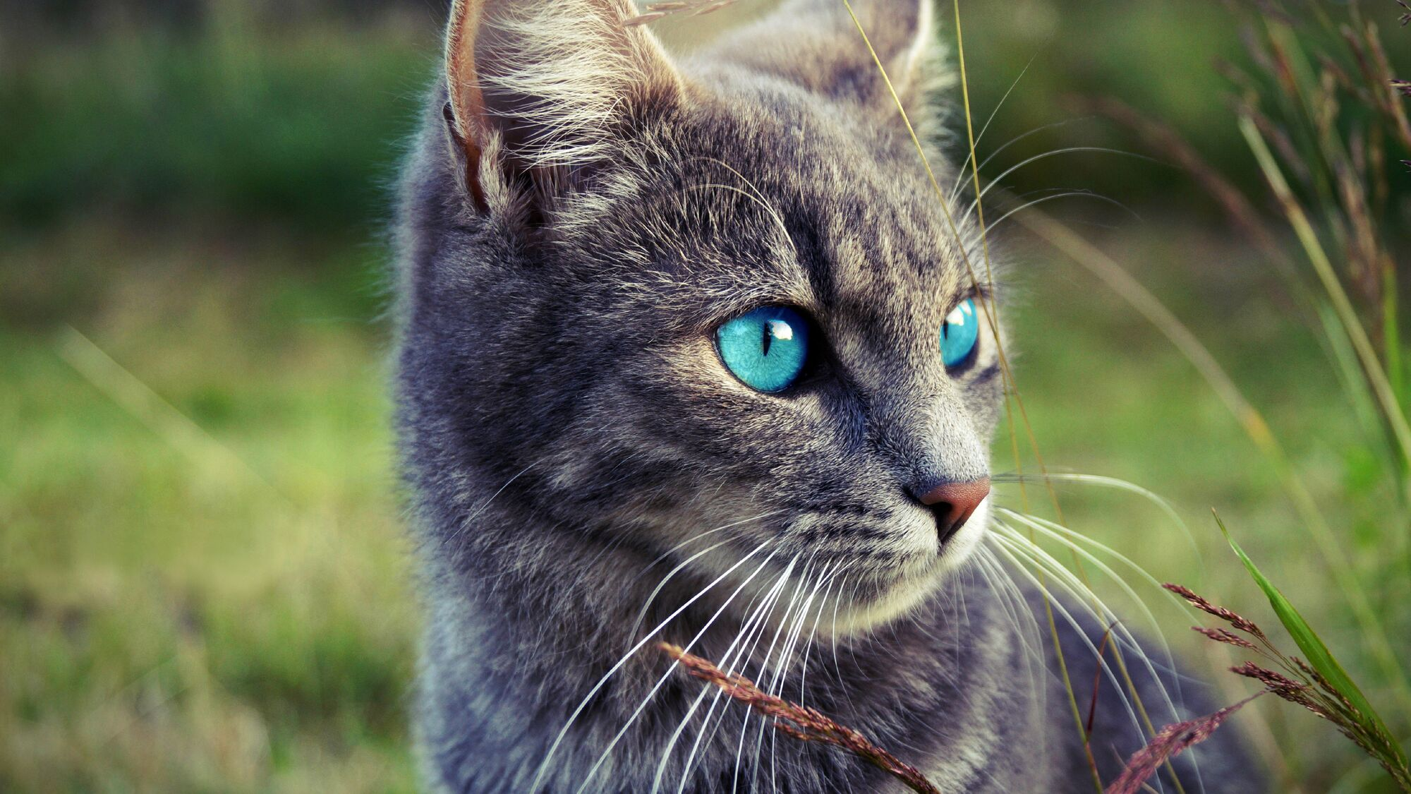 Image Gray cat blue eyes grass 4K wallpaper
