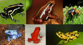 Poison dart frogs.png