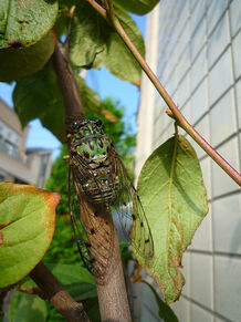 Robust cicada re