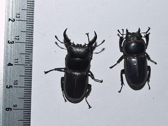 File:Dorcus titanus 02 flat stag.jpg
