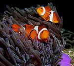 ClownfishWithSeaAnemone
