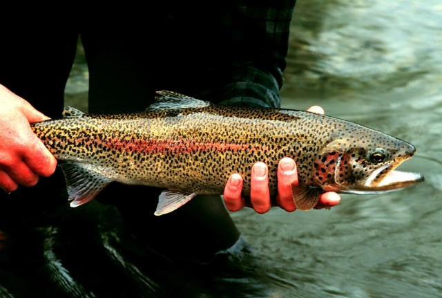 File:Rainbow trout-1-.jpg