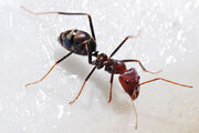 Real Ant