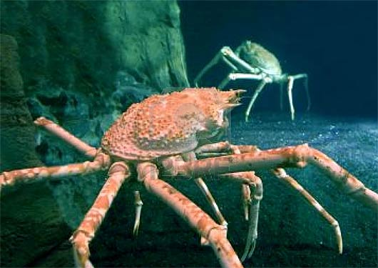 File:Real red king crab.jpg