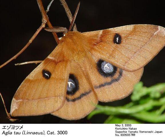 File:A2Aglia japonica microtau.jpg