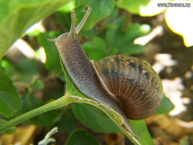 File:Snail eating leaf.jpg