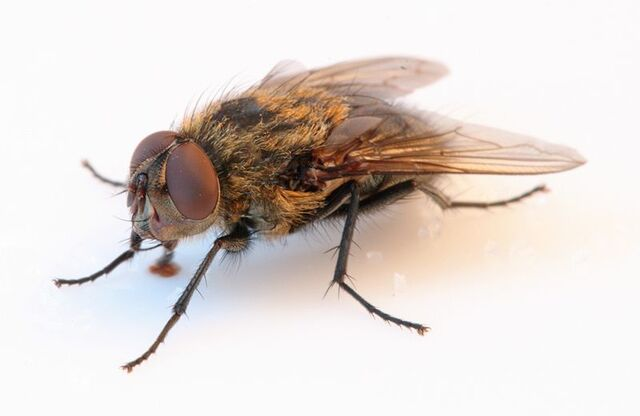 File:Real Fly.jpg