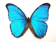 Blue Mopho