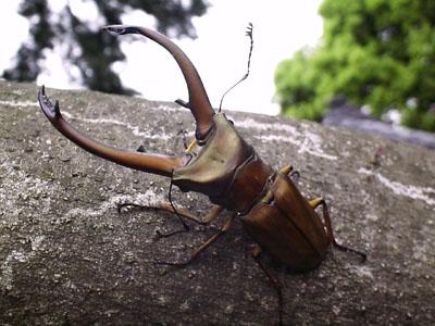 File:Deer-stag-beetle.jpg