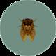Brown Cicada (City Folk)