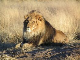 800px-Lion waiting in Nambia