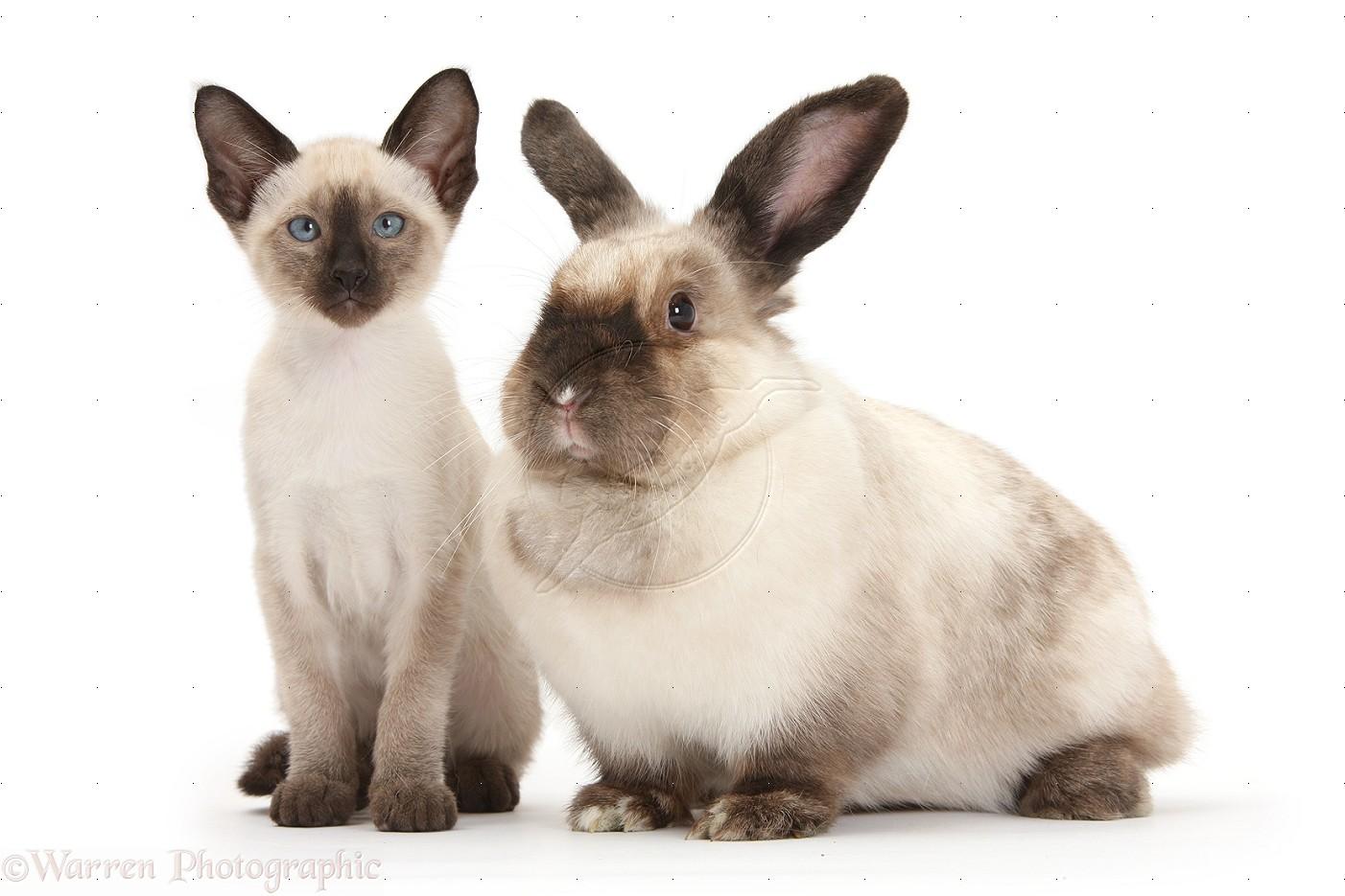 Image Siamese Cat And Rabbit Jpg Animal Jam Wiki