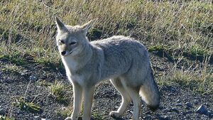 South American Grey Fox
