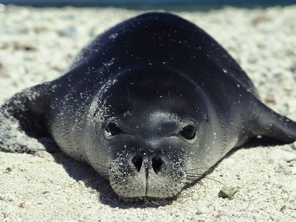 File:Hawaiian Monk Seal.jpg