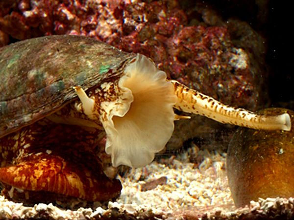 File:Geographic Cone Snail.jpg