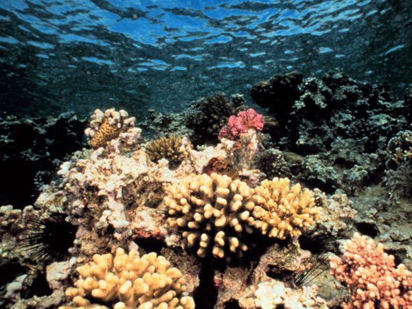 File:Coral.jpg