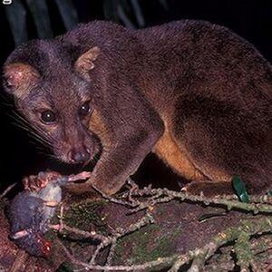 Sulawesi Palm Civet