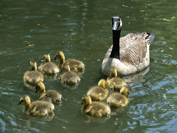 File:Canada Goose.jpg