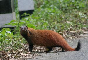 Indian Brown Mongoose