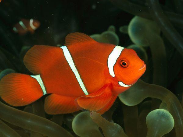 File:Clownfish.jpg