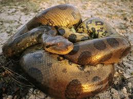 File:Green Anaconda.jpg