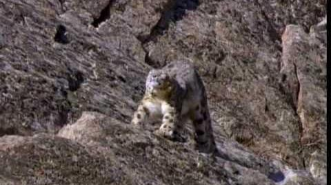 (1 6) Snow Leopard of Pakistan - Beyond the Myth