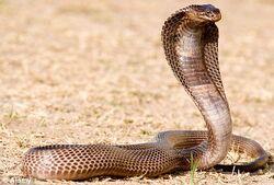 Egyptian-Cobra