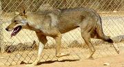 Canis-lupus-arabs