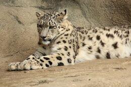 Snow Leopard Lying Down