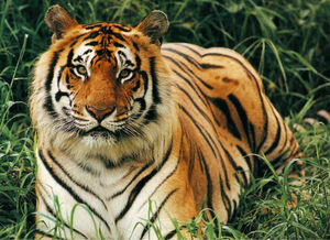 Bengal tiger classification
