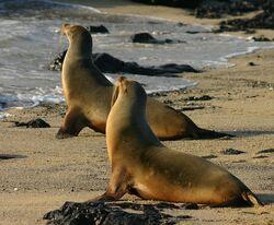729px-Galápagos sea lions Isabela