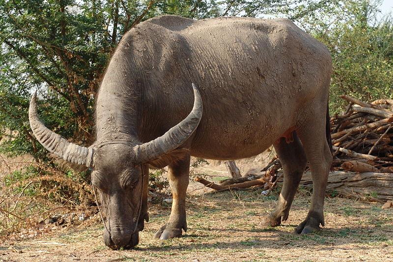 Water Buffalo | Animal Database | Fandom powered by Wikia