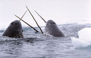 Narwhals Breaching