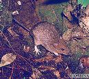Muennink's Spiny Rat