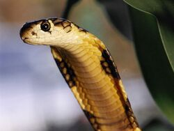 King Cobra Close