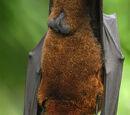 Large Flying Fox