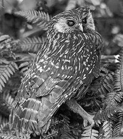 Laughing Owl