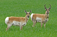 Common Pronghorn