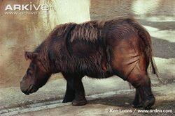 Sumatran-rhinoceros-