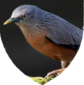 Shield aves