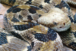 Timber Rattlesnake Closeup