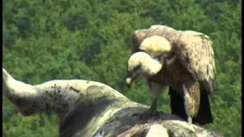 Griffon vultures in Bulgaria - part 1