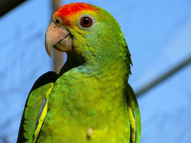 File:Red-Browed Amazon Parrot.jpg