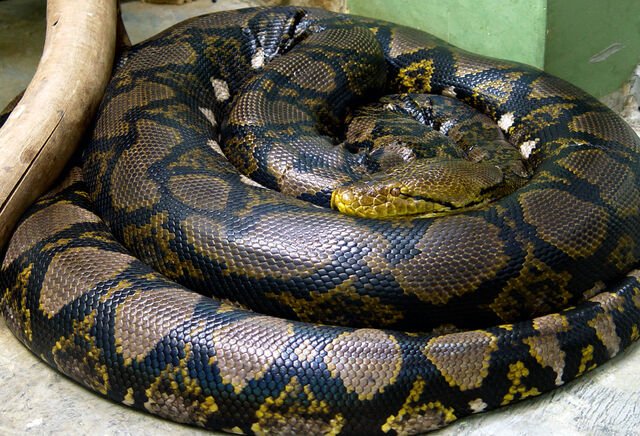 File:Reticulated Python.jpg