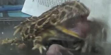 File:Pacman Frog Strikes Tongue At Mouse.jpg