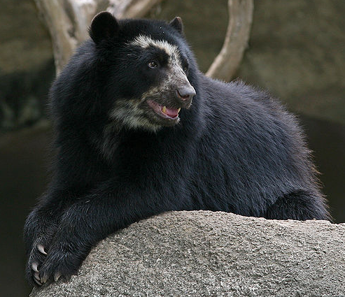 File:Spectacled Bear.png