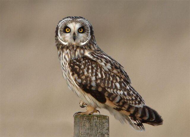 File:Short eared owll.jpg