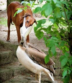 Dog-and-pelican