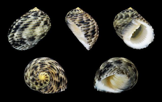 File:Nerita undata shells.JPG